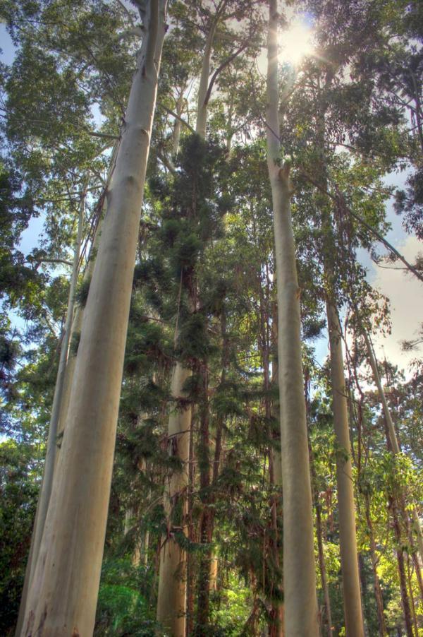 Fraser Island: Blick nach oben
